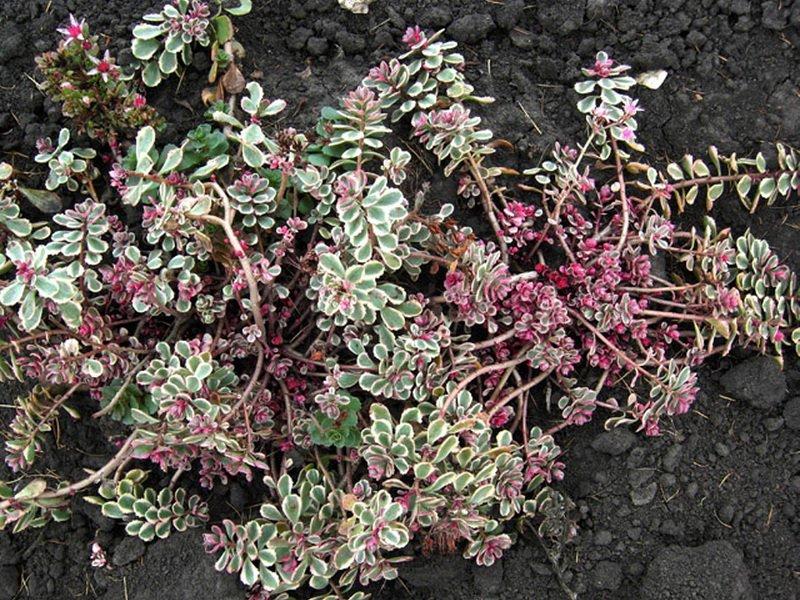 Очиток ложный (S. spurium) в дизайне сада