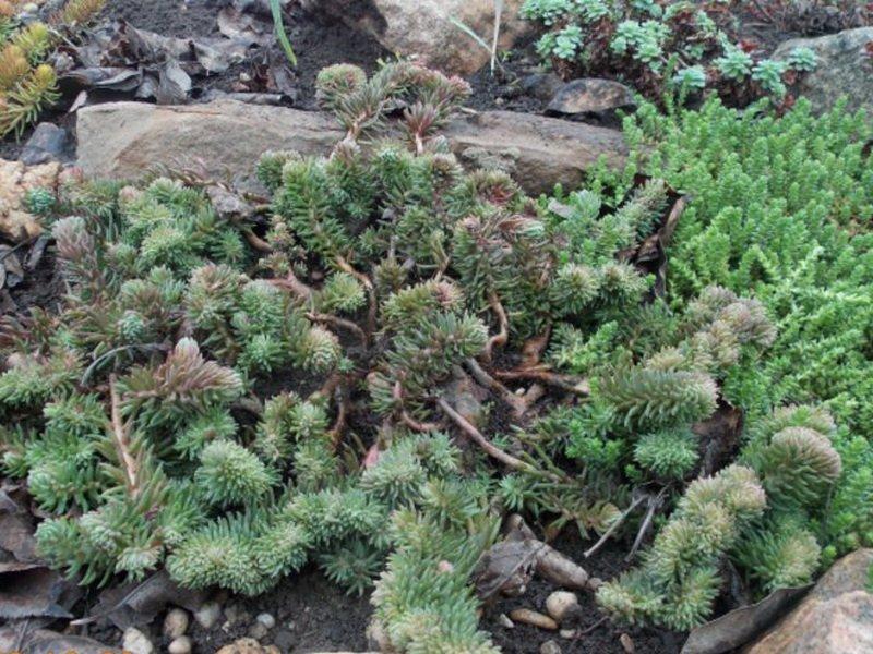 Очиток скальный (S. rupestre) в дизайне сада