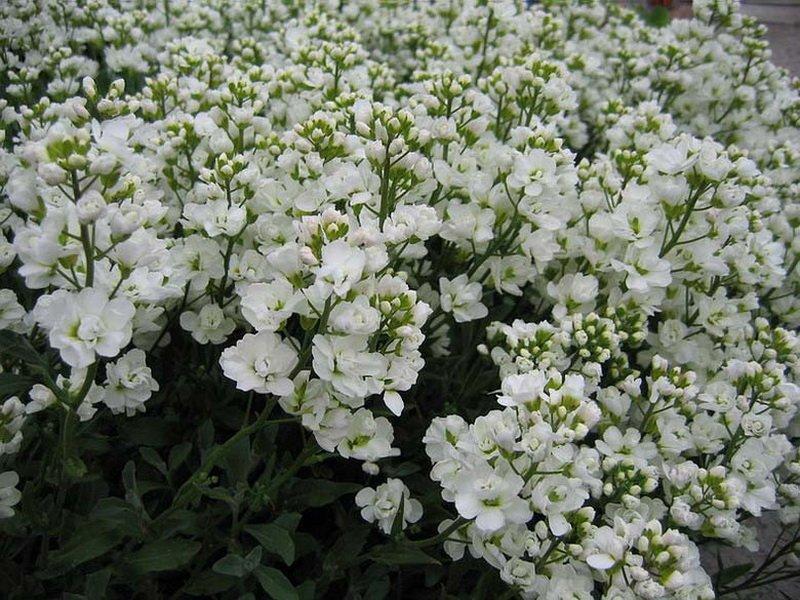 Цветки Резухи - Arabis