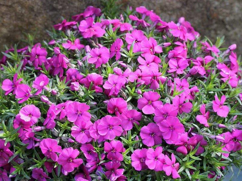 Цветки Флокса Дугласа (P. douglasii)