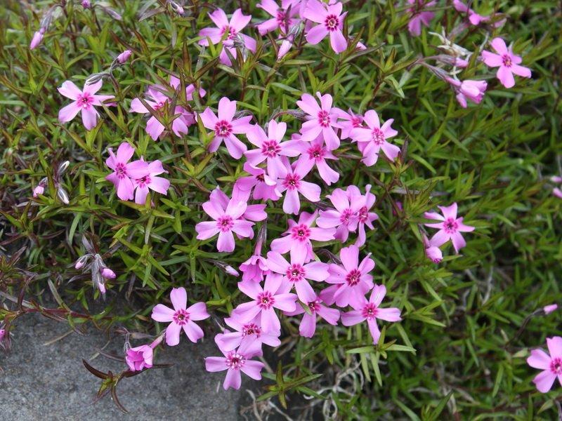 Цветки Флокса шиловидного (P. subulata)