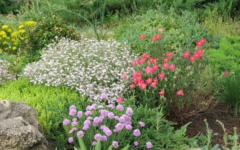 Лучшие цветы-многолетники для рокариев: фото и названия растений фото