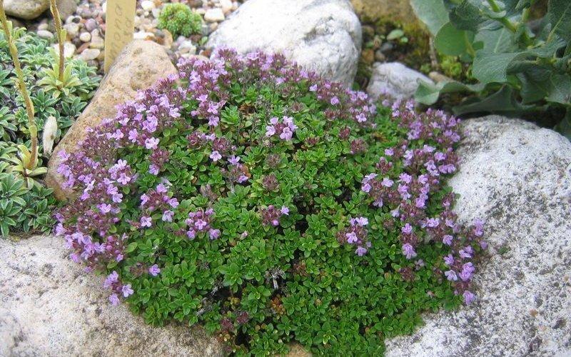 Какие горные цветы подходят для альпийской горки? фото