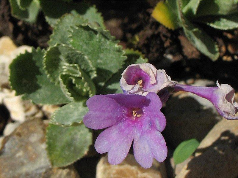 (P. marginata) на фото