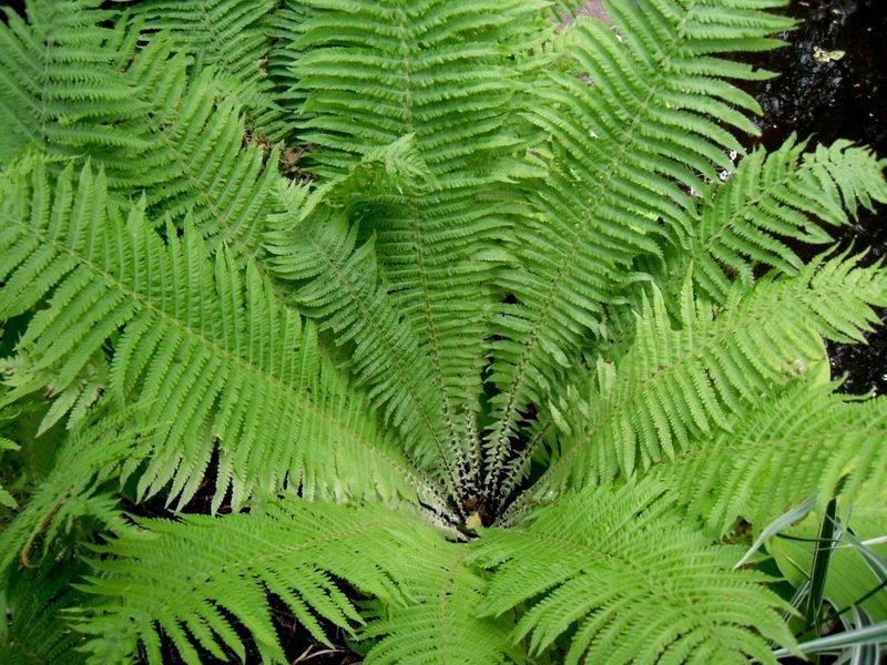 Ажурные лесные виды - диплазиум сибирский