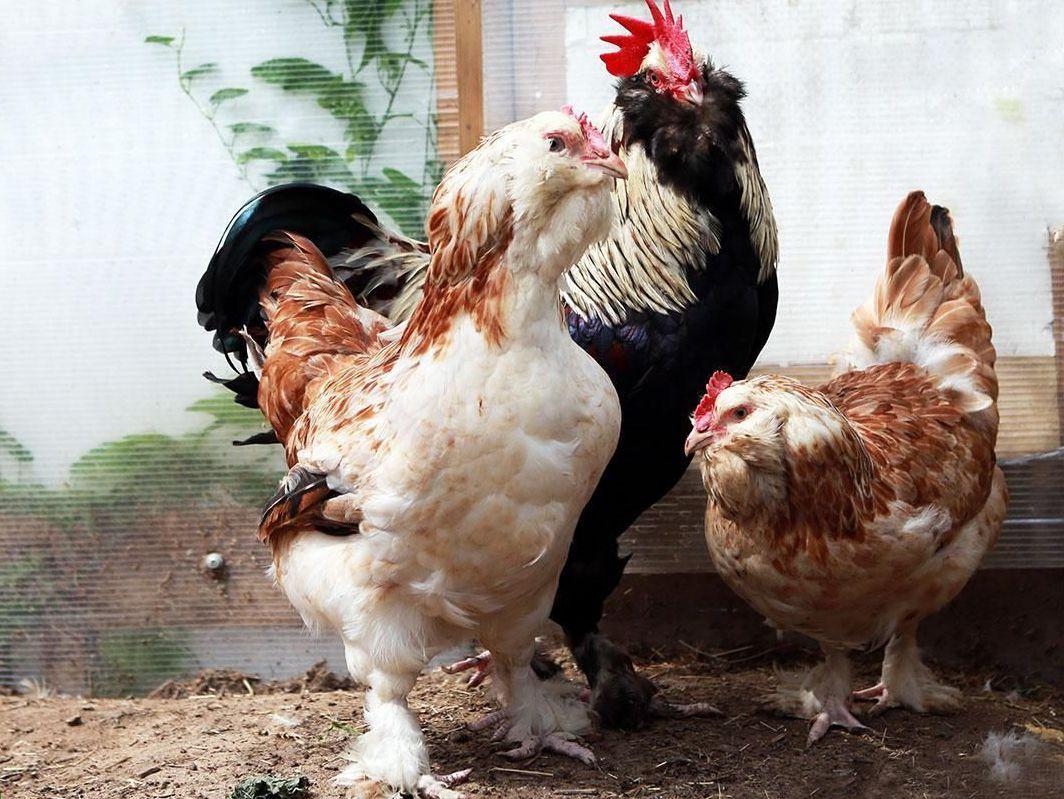 Болезни кур: причины, признаки и лечение