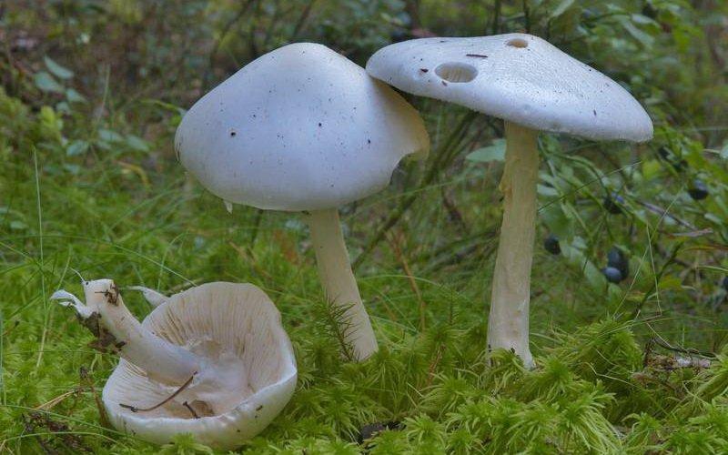 Как выглядит ядовитый гриб белая поганка (с фото)