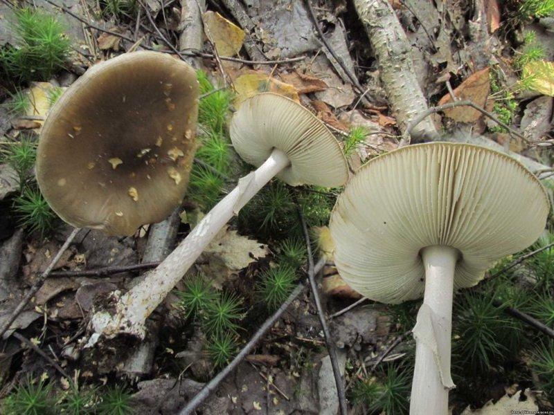 Ядовитый гриб белая поганка! на фото