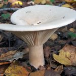 Леписта сорная (Lepista sordida) фото и описание