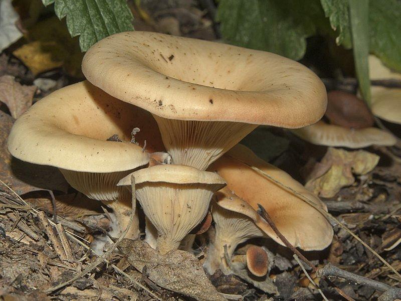 Описание грибов с фотографиями говорушки