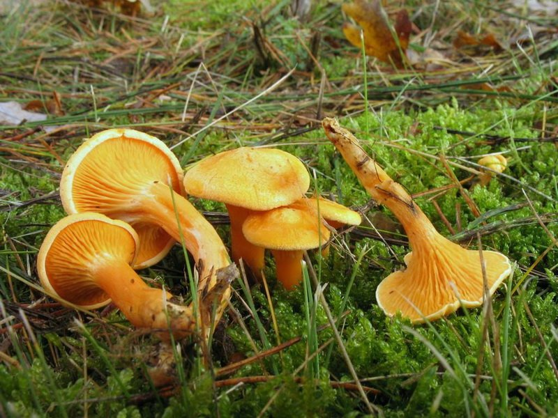 Редкий съедобный пластинчатый гриб