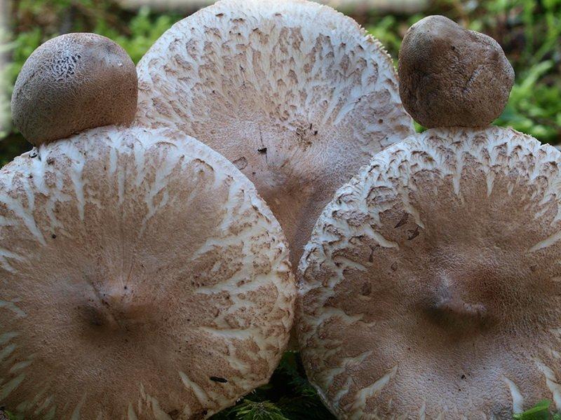 поверхность шляпки покрыта крупными коричневыми чешуйками наподобие «змеиной кожи».