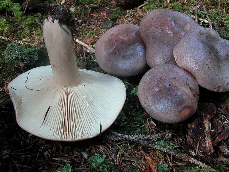 (Lactarius trivialis) на фото