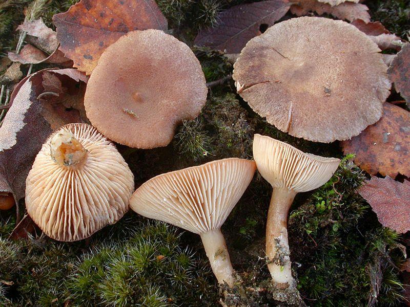 Шляпка сухая, волнистая (фото)