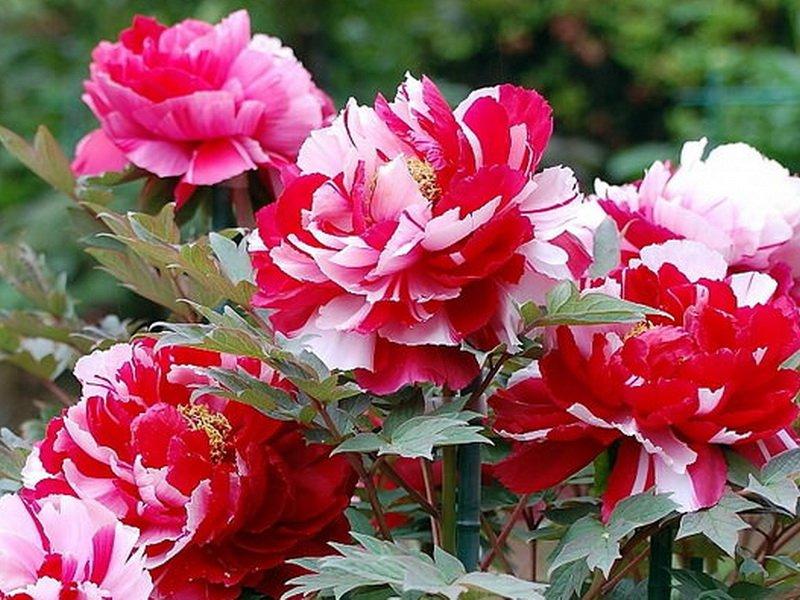 Цветок полумахровый, около 18 см диаметром