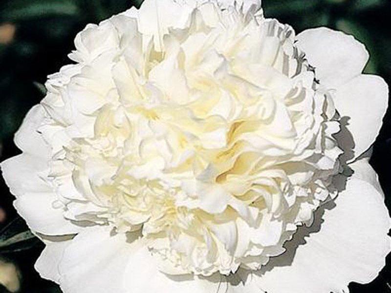 Цветок махровый, 17-18 см диаметром