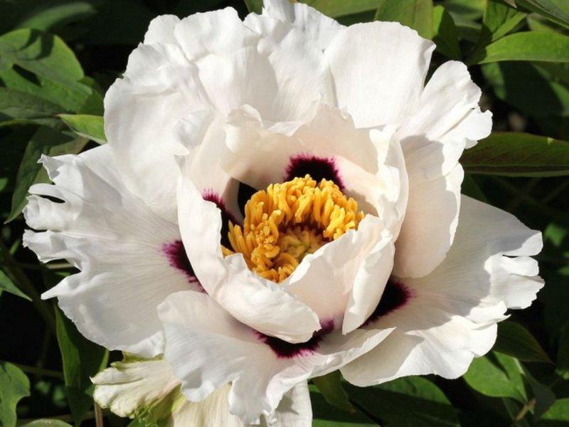 Цветок немахровый, компактный, 10- 11 см в диаметре