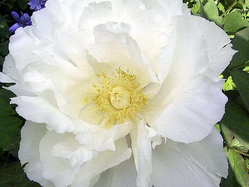 Цветок немахровый, 12-14 см в диаметре.