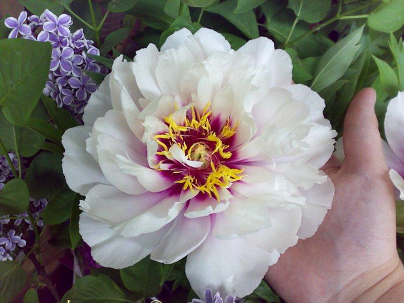 Цветок немахровый, компактный, 12-13 см в диаметре