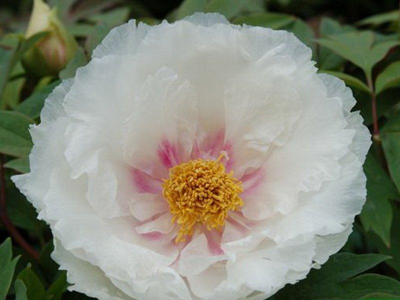 Цветок полумахровый, 18-19 см в диаметре,