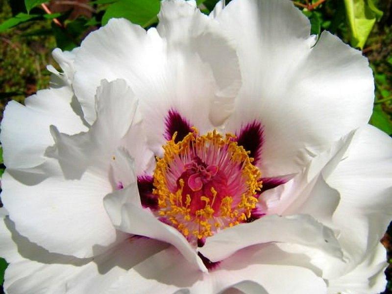 Цветок полумахровый, 19-20 см в диаметре