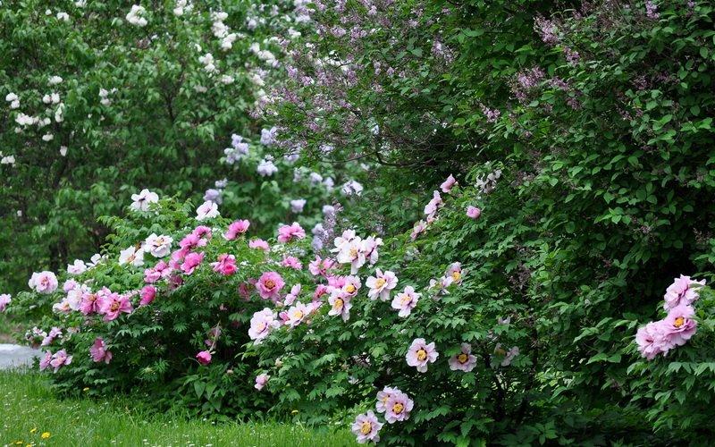 Зимостойкие сорта древовидных пионов белого цвета (с фото) фото