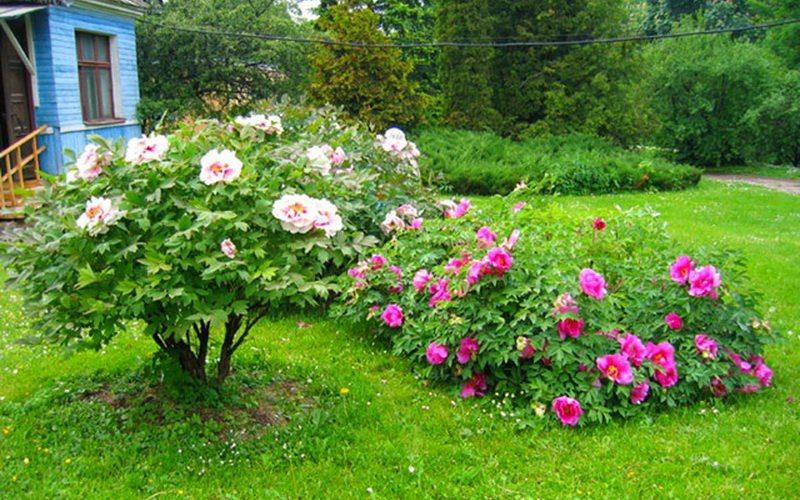 Древовидные пионы в ландшафтном дизайне сада (с фото)