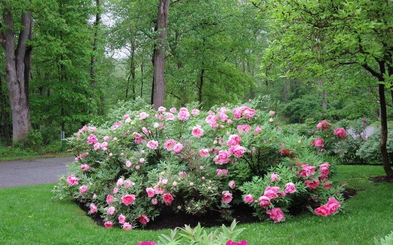 Древовидные пионы в ландшафтном дизайне сада (с фото) фото