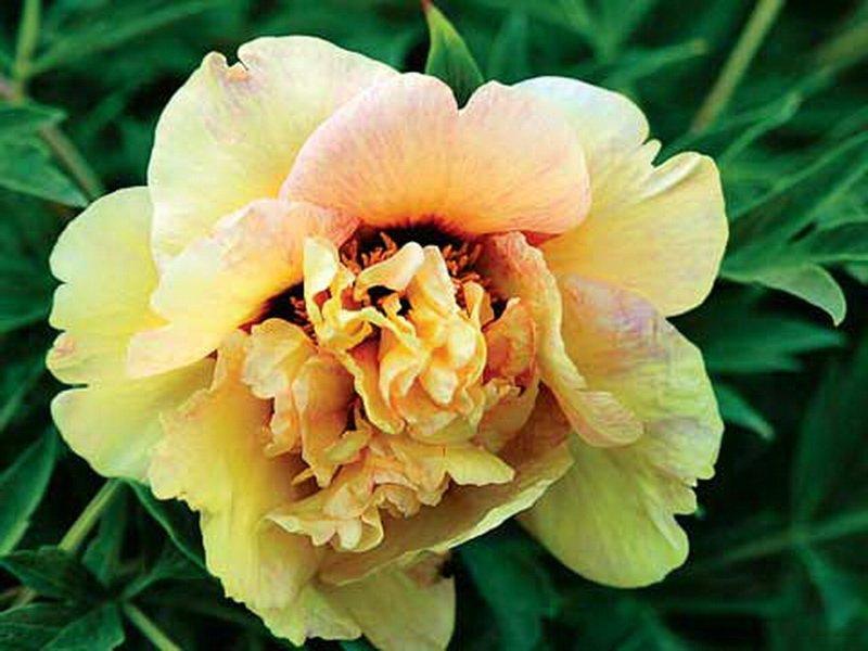 Цветок полумахровый, чашевидной формы