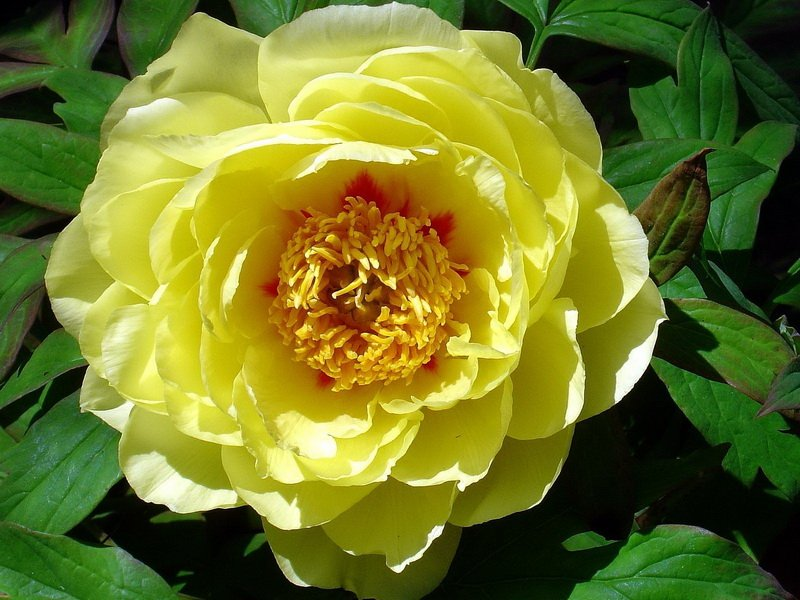 Цветки немахровые, лепестки широкие