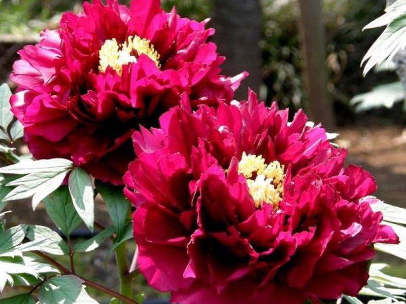 Цветок полумахровый, диаметром 18-20 см