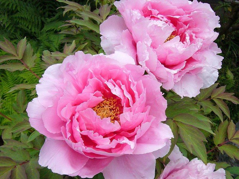 Цветок полумахровый, диаметром 16-17 см.