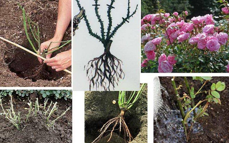 Где и когда сажать древовидные пионы в открытый грунт
