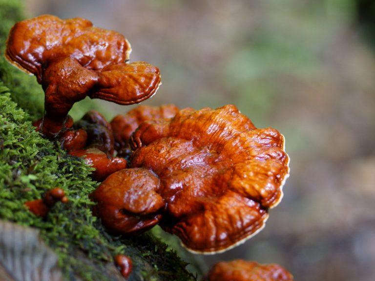 Продам грибы рейши