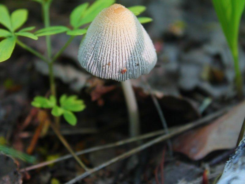(Coprinus cinereus) на фото
