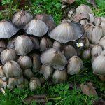 Чернильный гриб съедобный