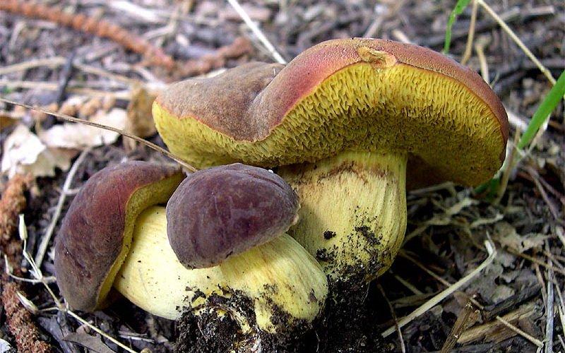 Моховик Boletus prunatus на фото