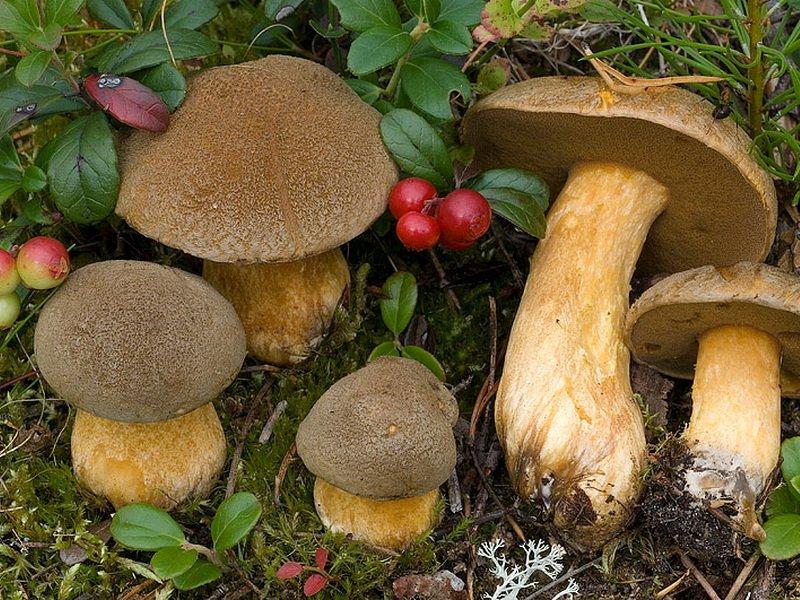 моховик фото гриба
