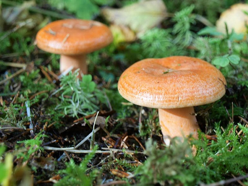 (Lactarius deterrimus Groger) на фото