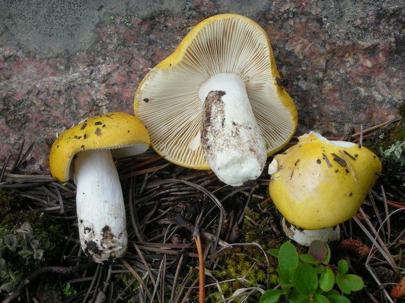 (Russula claroflava) на фото