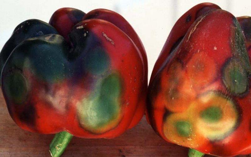 Виды болезней и вредителей перца, борьба с вредителями овощей фото
