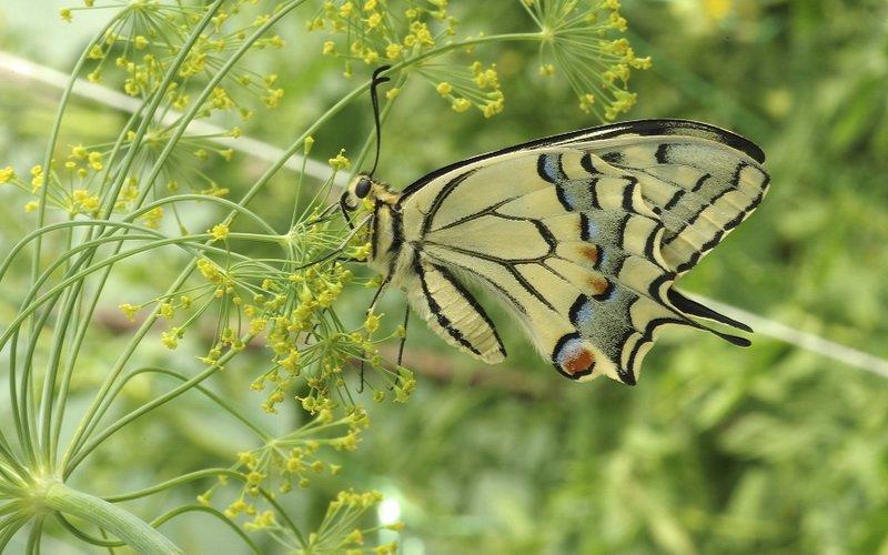 На фото вредитель укропа бабочка Махаон