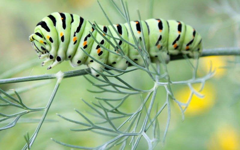 На фото вредитель укропа гусеница Махаон