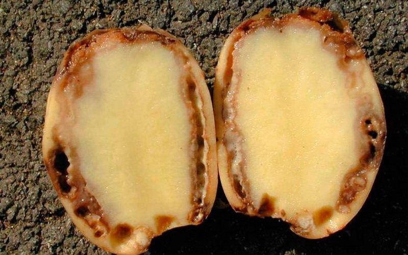 На фото Бактериальная гниль картофеля