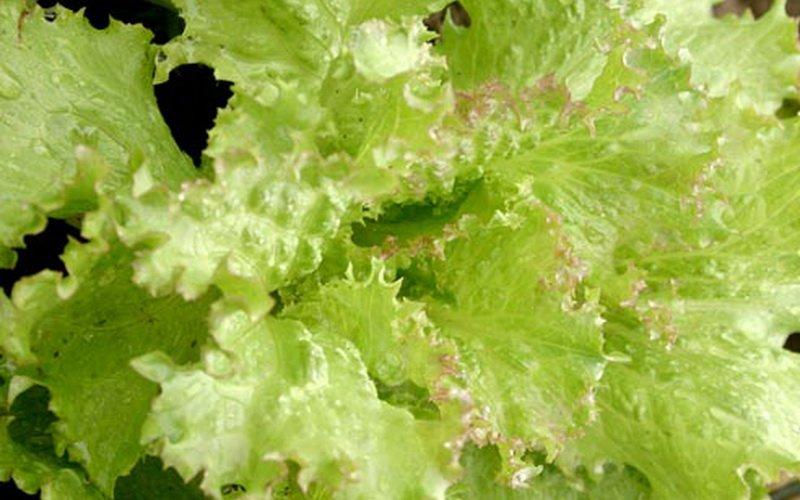 Способы борьбы с вредителями и болезнями овощного растения салат фото