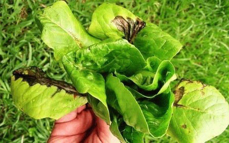 На фото Септориозная пятнистость листьев салата
