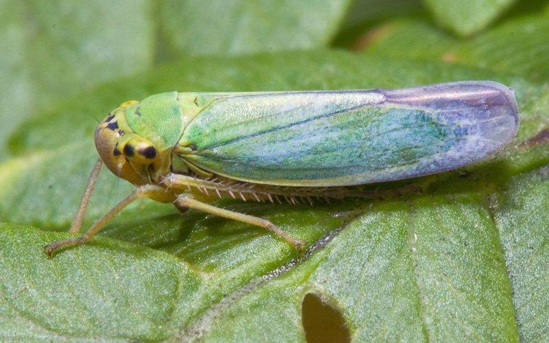 На фото вредитель листьев салата Цикадочка зеленая
