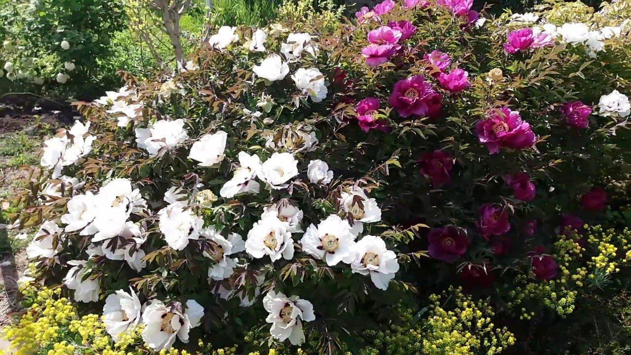 Древовидные пионы в дизайне сада: виды и сорта