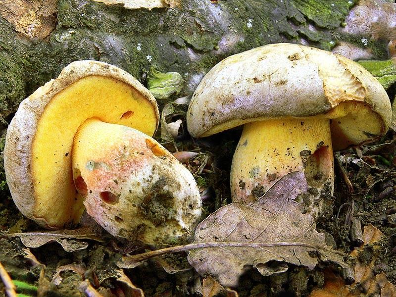 первое грибы с желтой мякотью фото вам