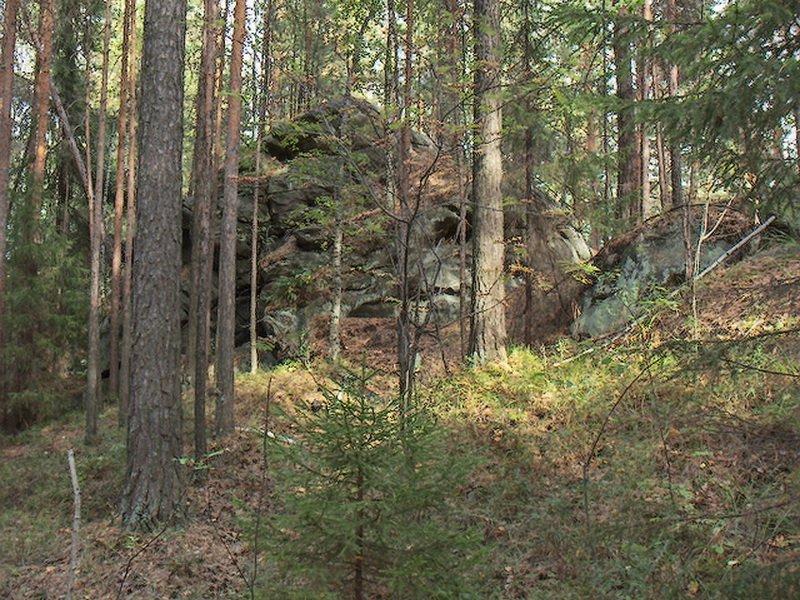 Сосновый лес с грибами